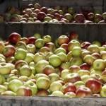 Apple Picking and Cider Pressing at Distillery Lane Cid...