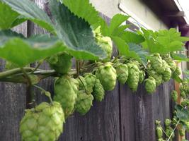 Hops & Herbs: Organic Gardening for Home Brewers