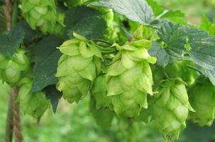 Massachusetts Hops Field Day