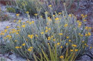**VOLUNTEER OPPORTUNITY** Golden Aster Counting Event