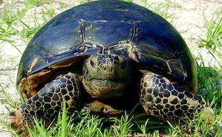 The Life of a Gopher Tortoise