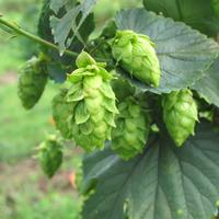2014 Live Broadcast 5th Annual Hops Conference