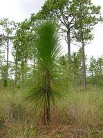 Longleaf Pine Opportunities and Management - SC