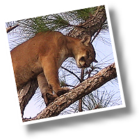 Mountain Lions of Southern California
