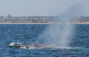 SUMMER WHALE WATCH WITH ACS-ORANGE COUNTY!