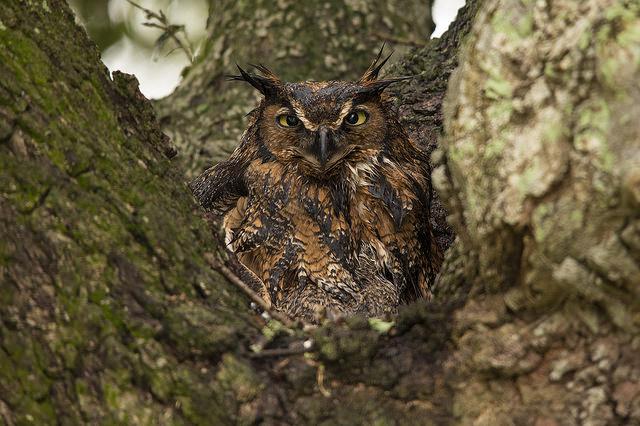 Owl - USGS