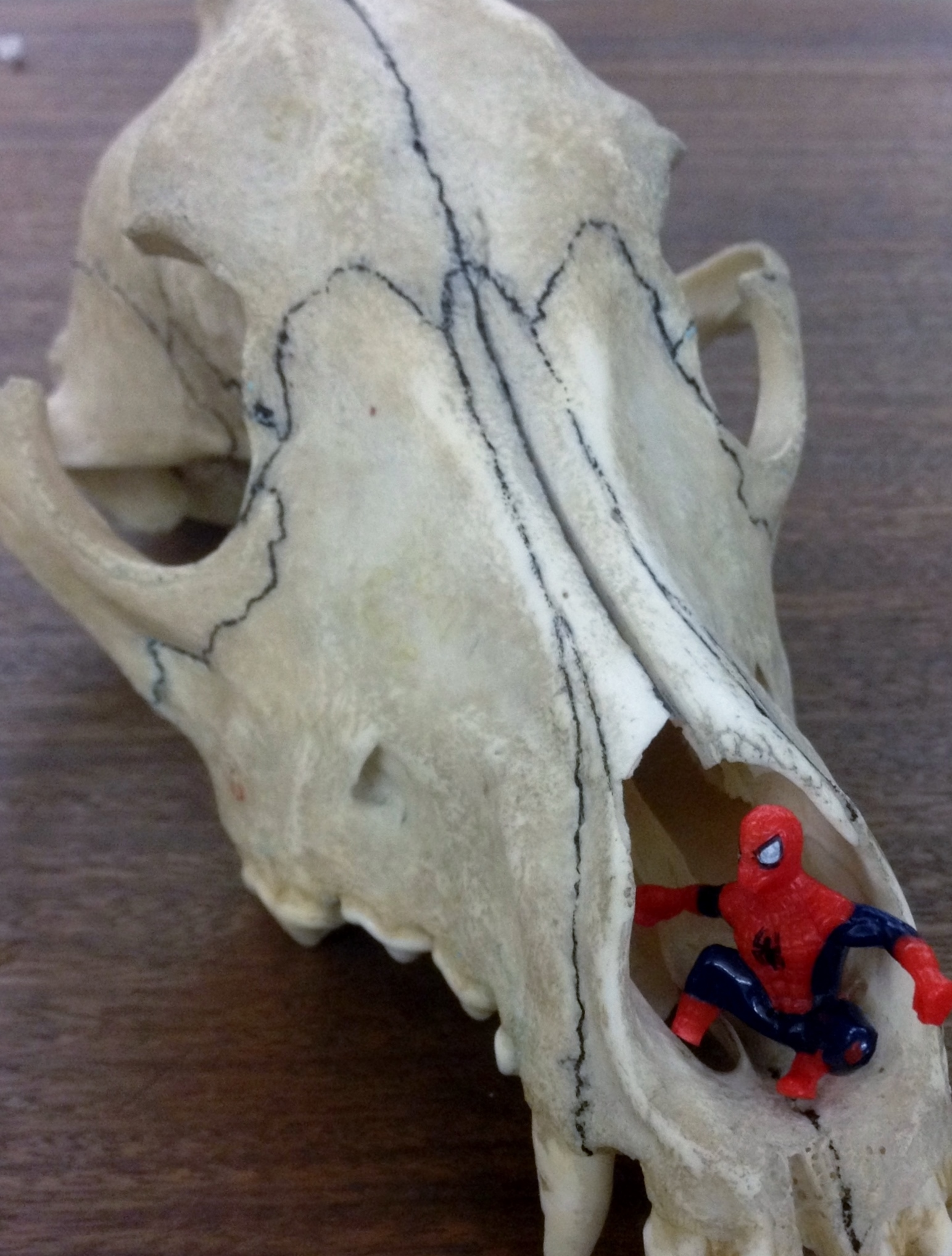Childs toy Spiderman in the eye socket of a greyhound skull