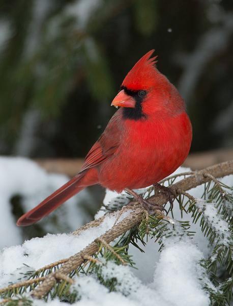 Cardinal with snow