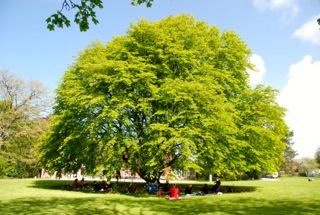 Weeping Hornbeam 400 years old