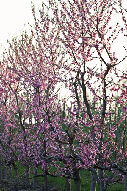 Spring bloom fruit tree sale planting pruning workshop tickets multiple dates eventbrite - Spring trimming orchard trees healthy ...