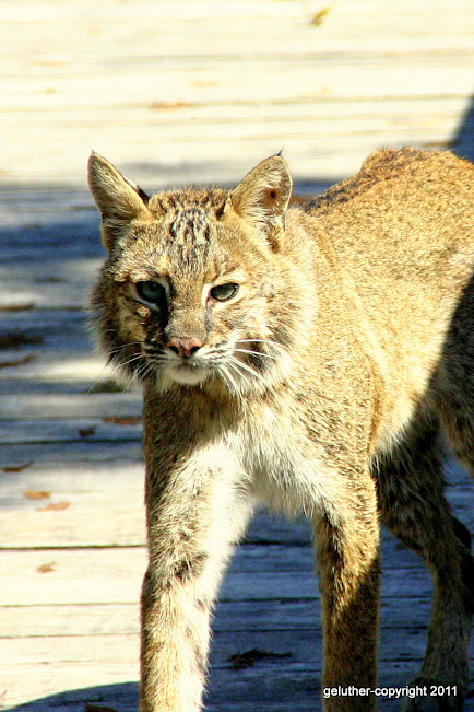Bobcat by George Luther