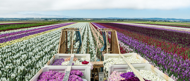 ... flower farmer Frank Costa for an hour-long tour of Ocean View Flowers. The extra VIP tour will take place prior to the start of the event and includes a ...