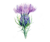 Colours of the thistle