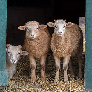 Three lambs in a barn doorway gazing at the camera
