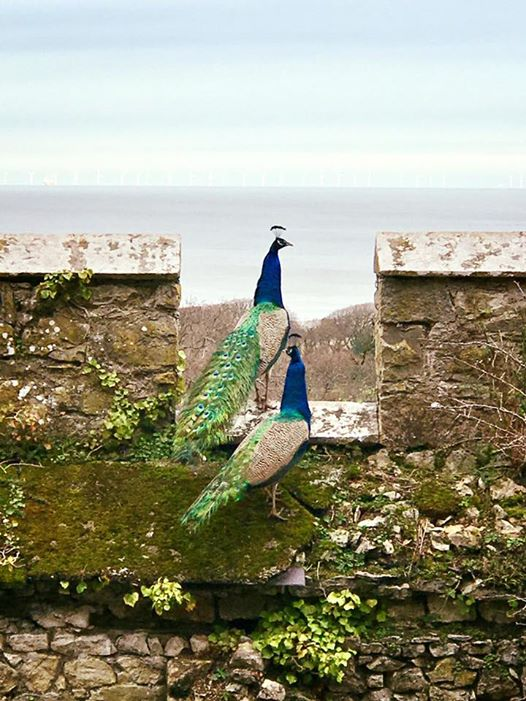 Peacocks at Gwrych Castle Gardens
