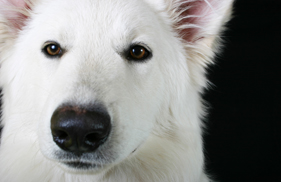 whitewhiskeydog