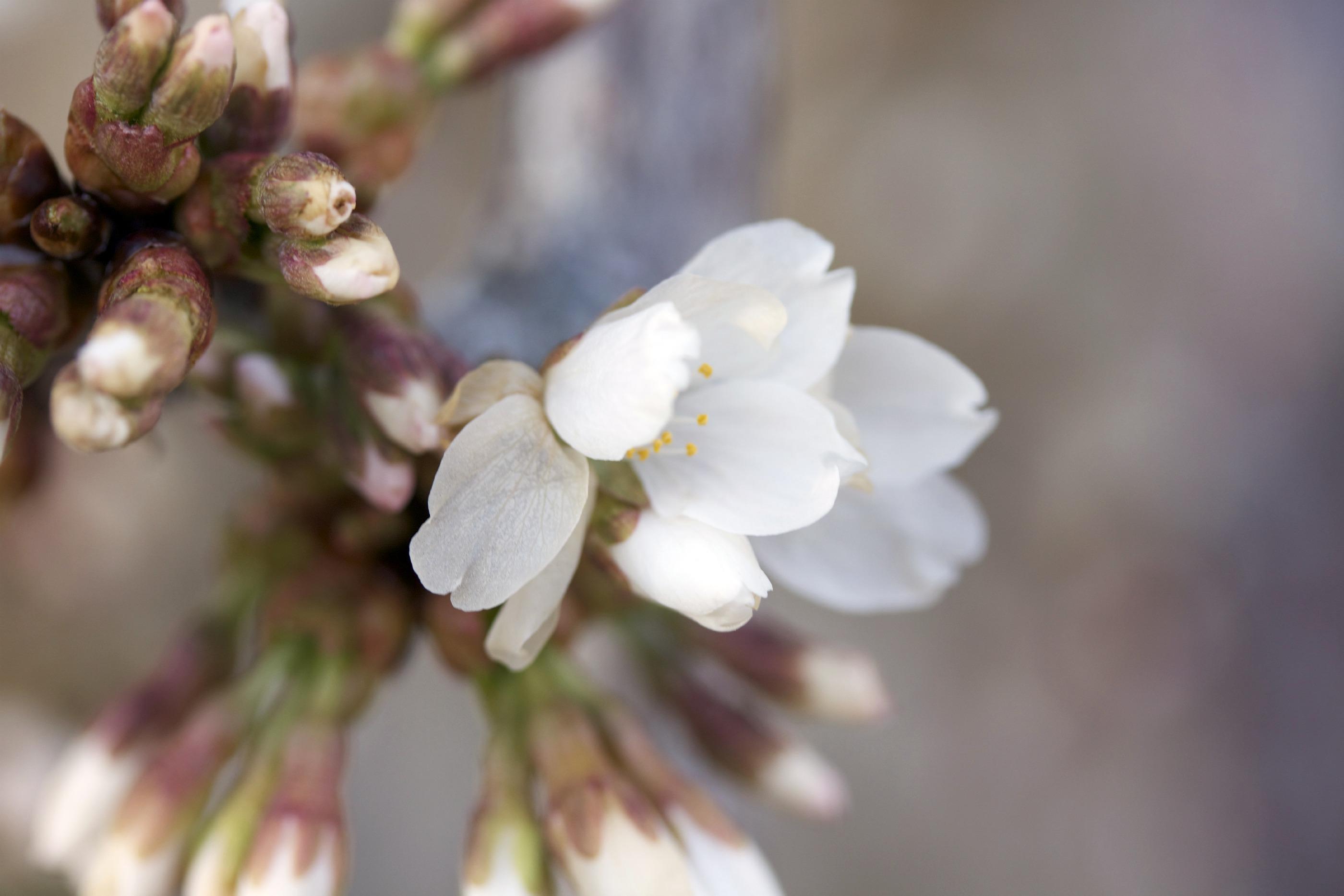 spring blossoms for spring event