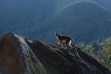 Pictured is a Ring-tailed lemur at the Anja Reserve in Madagascar as shown in the IMAX® film