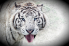 Tiger Social Networker