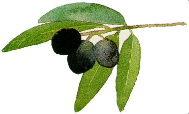 Black Olive Logo
