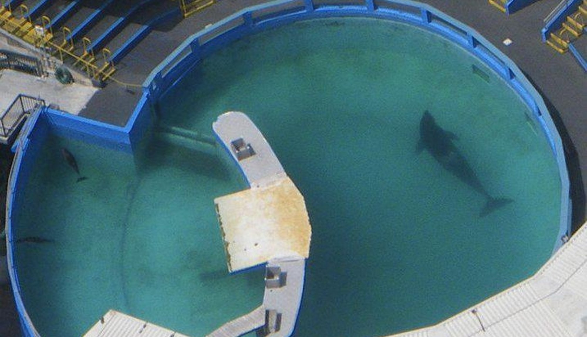 Orca Lolita at Miami Seaquarium
