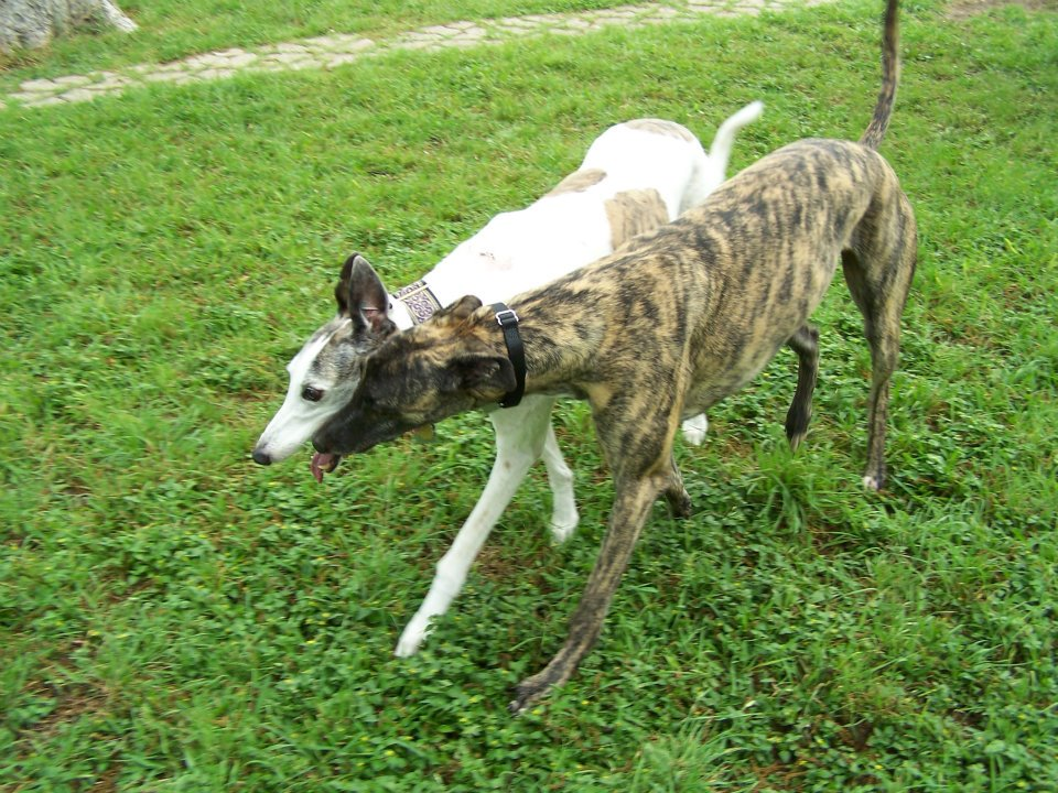 2 Greyhounds walking together