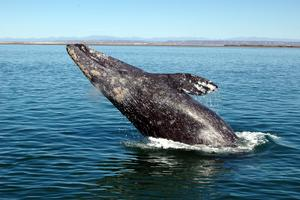ACS/LA's Ultimate Whale Watch