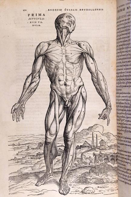 Humani Corporis Fabrica, Prima Musculorum Tabula, Andreas Vesalius 1543