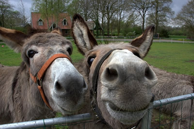 two smiling donkeys