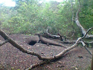 Komodo Dragon is in her Nest in Rinca Island