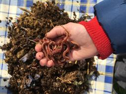 Composting Tiger Worms (Eisenia Fetida)