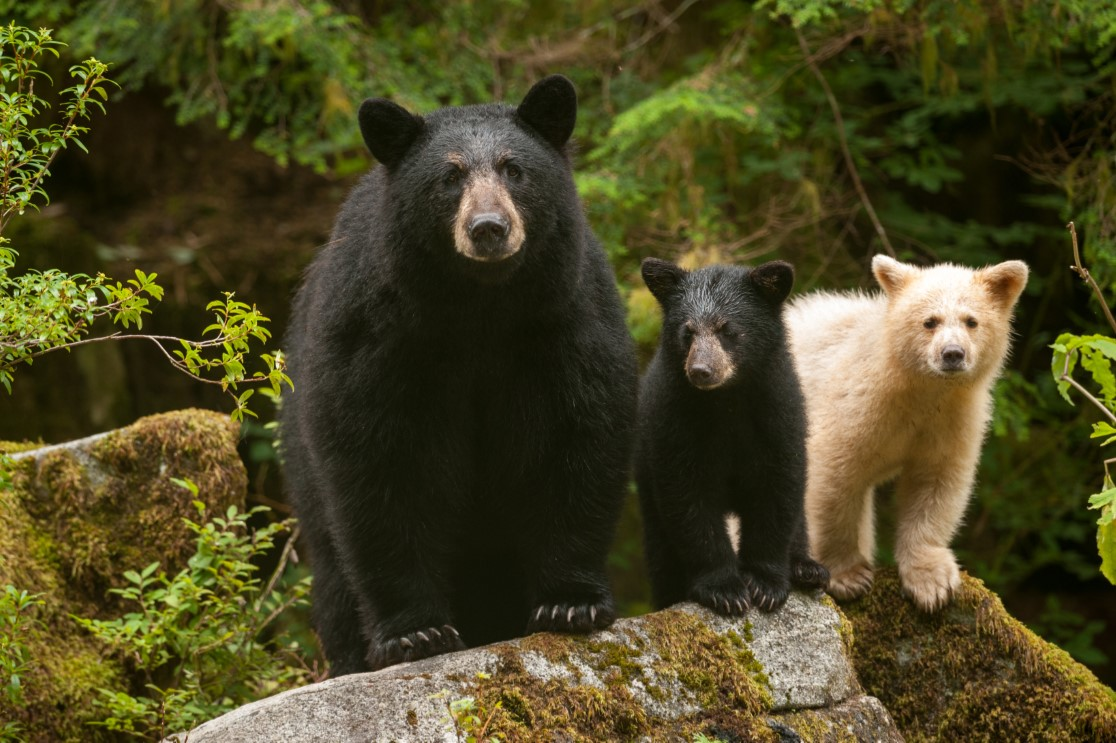 Mother and two bear cubs perched on a mossy rock.