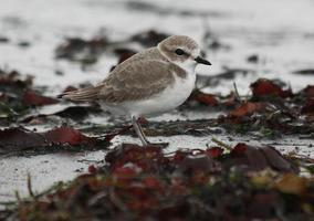 Snowy Plover Beach Ecology Walk with the Santa Monica & LA...
