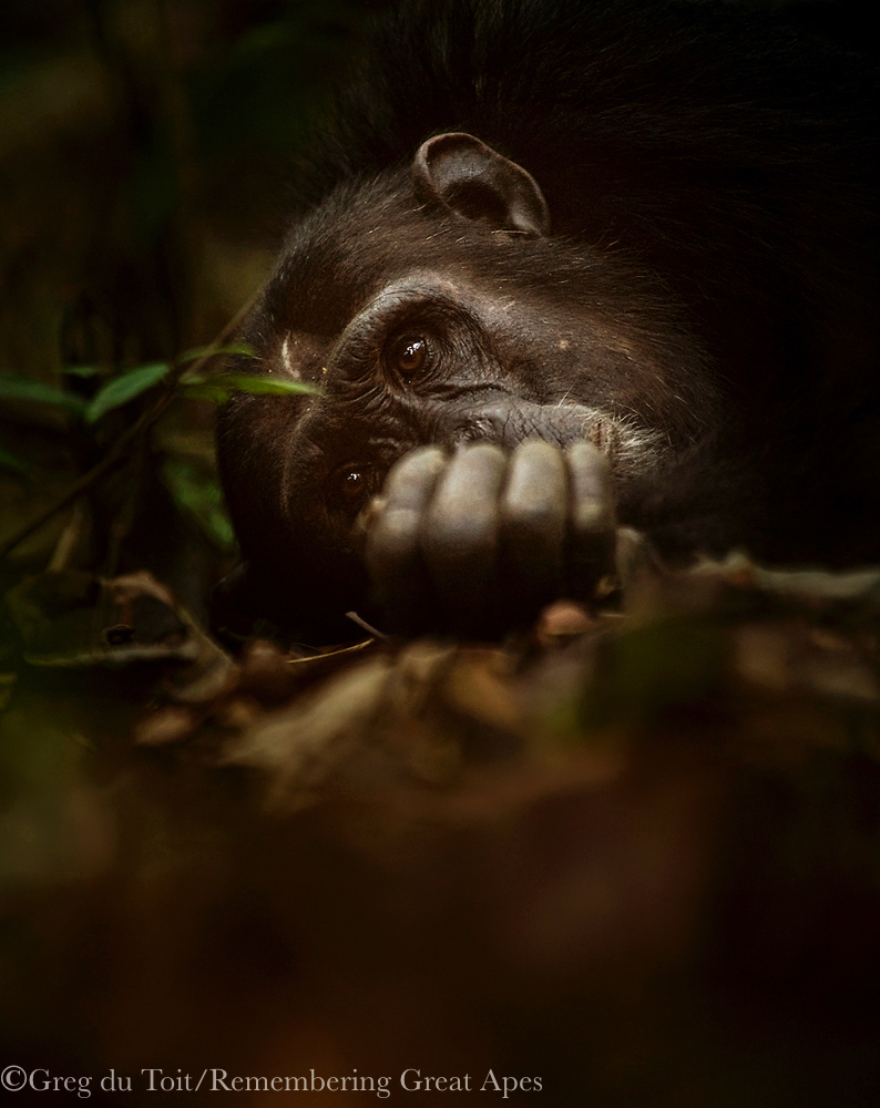 Chimpanzee by Greg du Toit