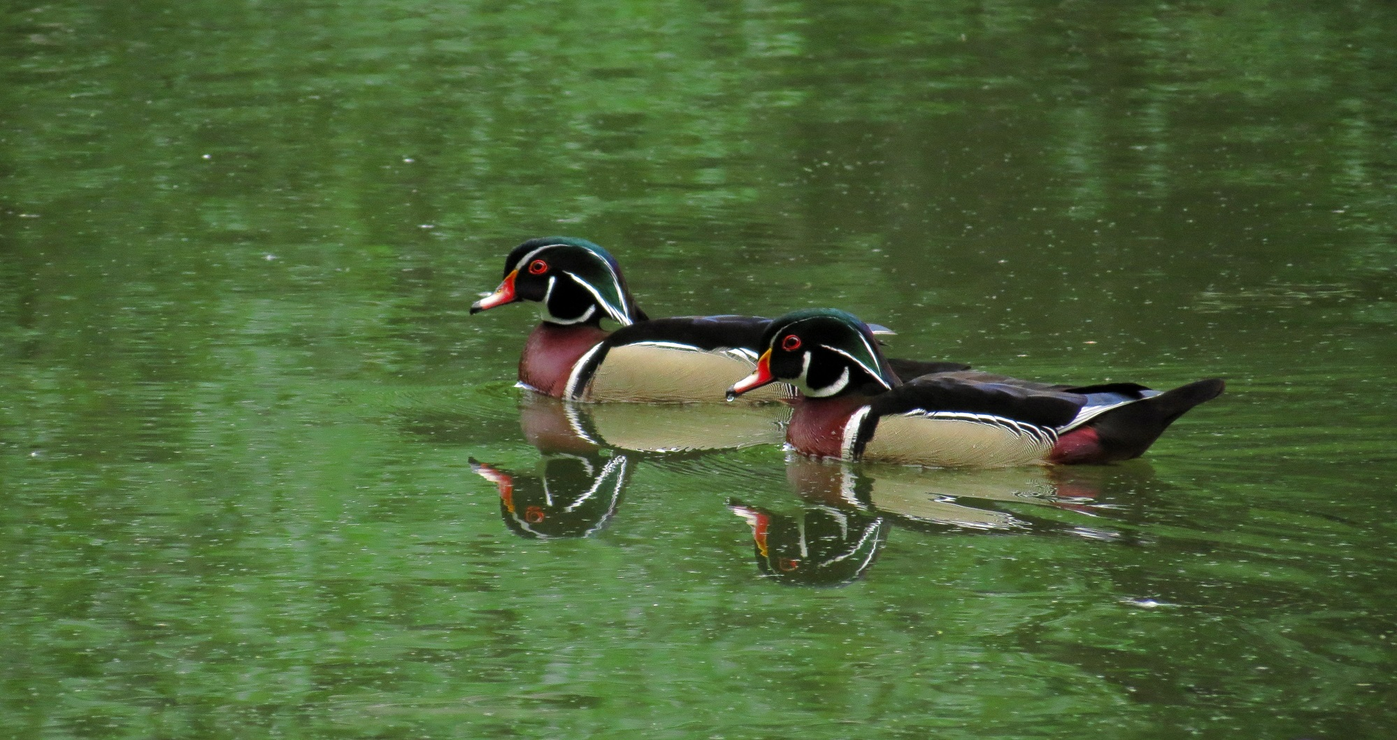 Central Park - Wood Ducks