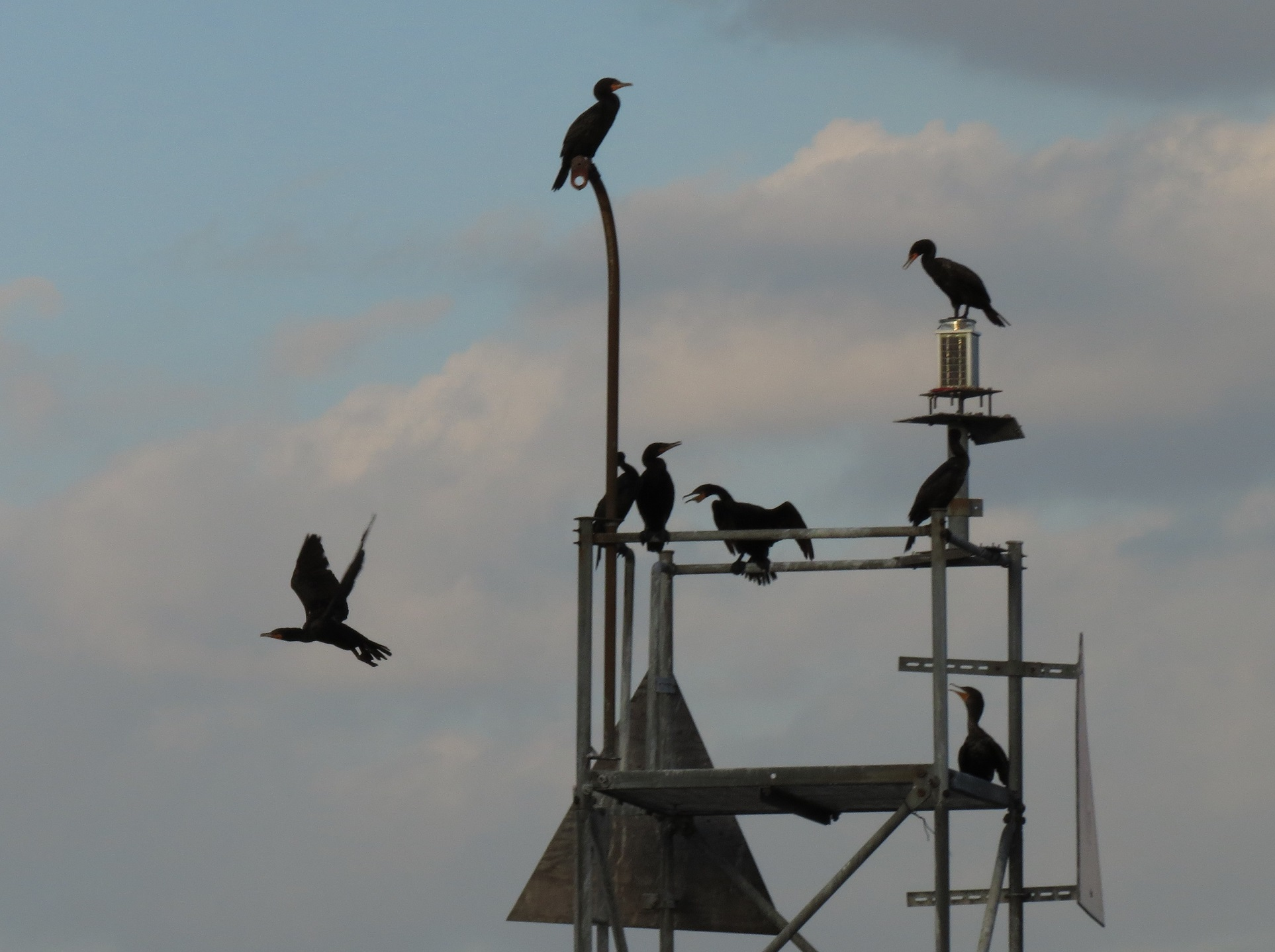 Cormorants - U Thant Island