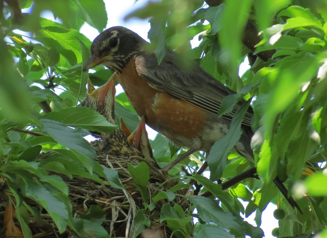 Robin with Chicks - 07-27-15