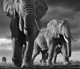 Photograph by David Yarrow