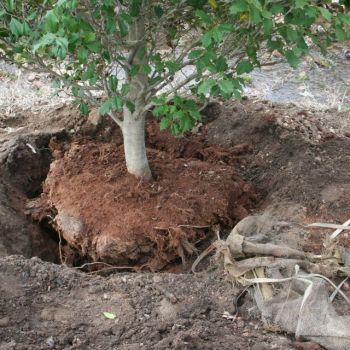 transplant tree