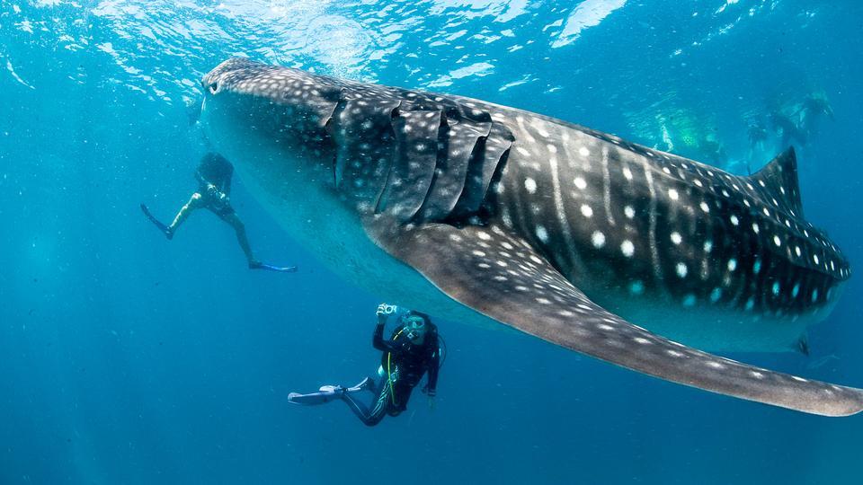 Michael Aw Photo whale shark