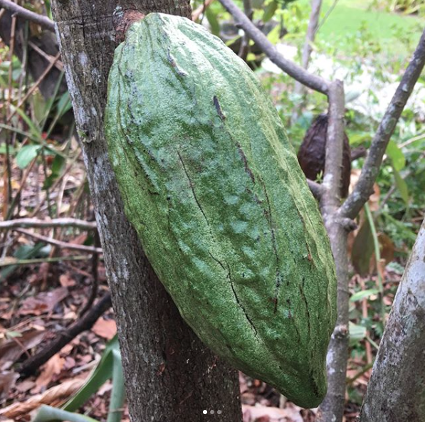 Cacao pods Cao Chocolates at Patch of Heaven Gardens