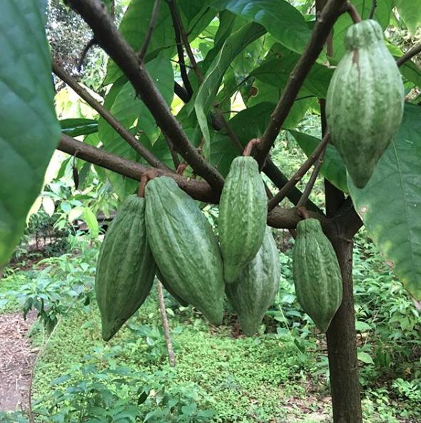 Miami Cacao pods - Cao Chocolates - Patch of Heaven Gardens
