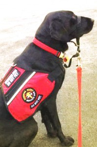Working service dog