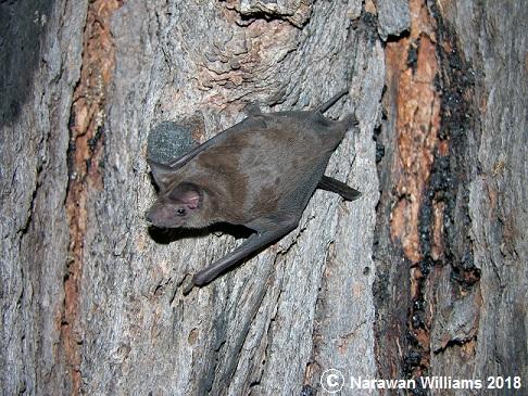 Freetailed bat