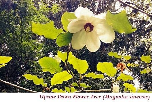 Upside Down Flower Tree (Magnolia sinensis)