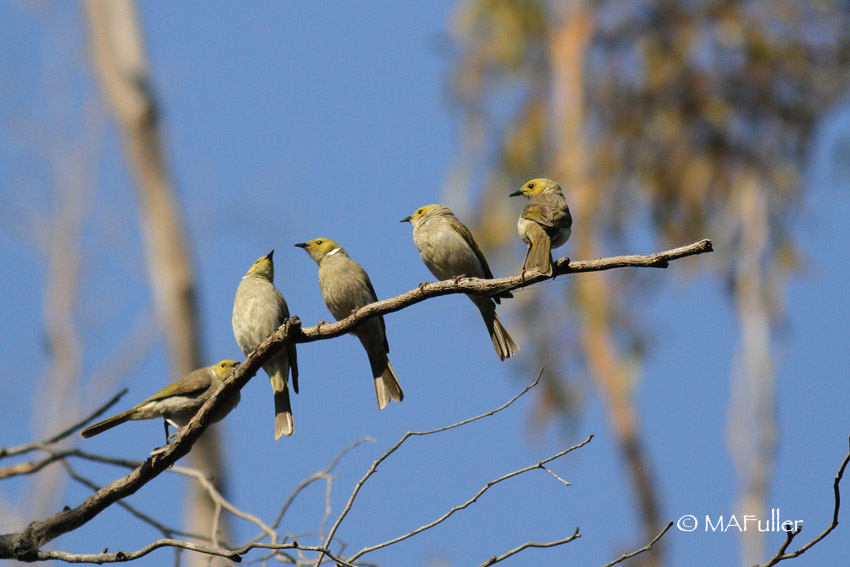 White-plume honeyeaters