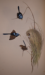 Blue wren painting