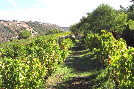 A wide vineyard