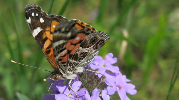 Painted lady butterfly?