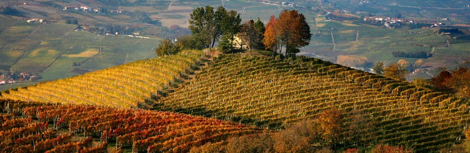 Vineyards in the Langhe, Italy